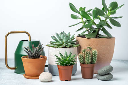 Various succulents in pots and watering can on table indoor. Plant transplantation. Concept of indoor garden home - Image
