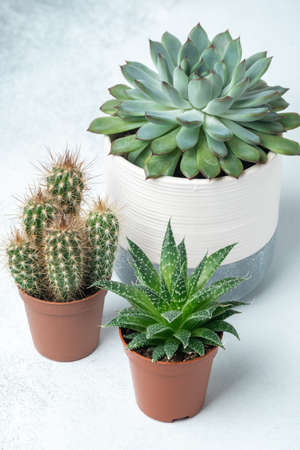 Various succulents in different pots on stone table indoor. Plant transplantation. Concept of indoor garden home - Image