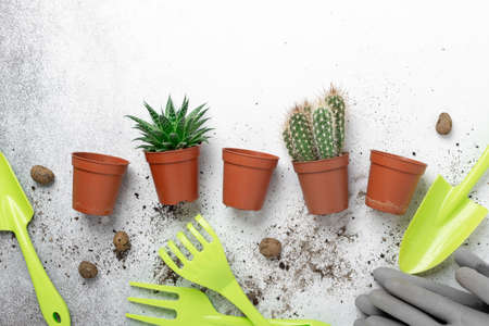 Various succulents in pots, gardening tools and gloves on table. Concept of indoor garden home, transplanting plants - Image