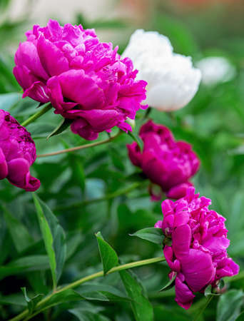 Beautiful blooming peonies in the garden. Flowers background - Image