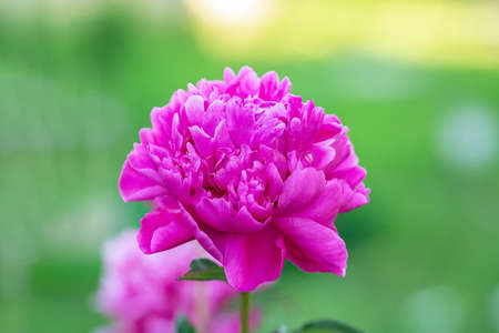 Beautiful blooming peony in the garden. Flowers background. Close up - Image