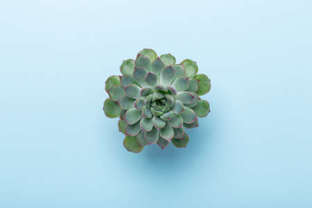 Natural background. Green echeveria succulent on blue background. Top view - Image 版權商用圖片