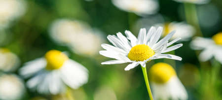 Summer banner of beautiful white chamomile. Flower background. Chamomile in the nature. Copy space. Soft focus - Image