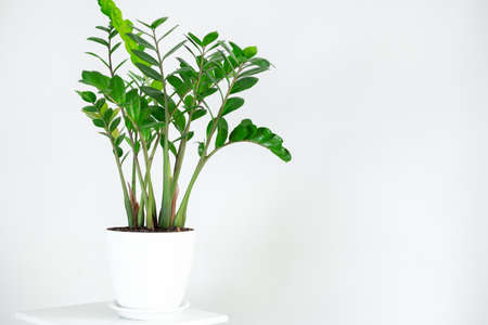 Large green zamioculcas in a white ceramic pot on a white background - Image