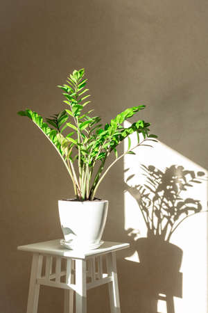Zamioculcas bush in a white ceramic pot and shadows on the wall - Image