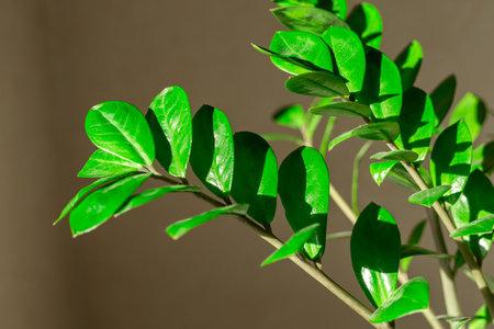Zamiokulkas branch in the sun and shadows - Image 版權商用圖片
