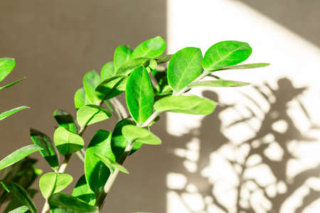 Zamiokulkas branch in the sun and shadows on the wall - Image