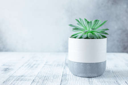 Echeveria succulent plant in ceramic pots. Potted cactus house plants on white table against stone wall - Image 版權商用圖片