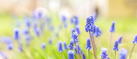 Spring banner of beautiful grape hyacinths. Muscari flowers in spring garden. Landscape panorama, copy space. Sun rays effect - Image 版權商用圖片