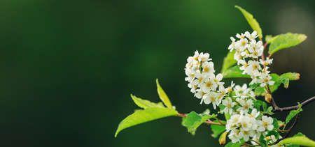 Spring banner with Bird Cherry Tree in blossom on dark background. Flowers of bird-cherry tree in the nature. Copy space. Soft focus - Image