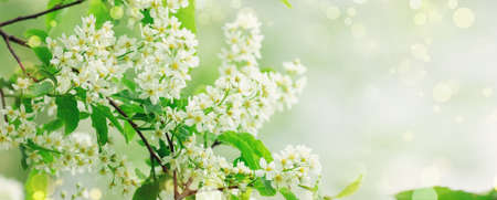 Spring banner with Bird Cherry Tree in blossom. Floral background. Flowers of bird-cherry tree in the nature. Copy space. Soft focus - Image