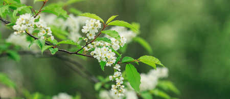 Spring banner with Bird Cherry Tree in blossom on green background. Flowers of bird-cherry tree in the nature. Copy space. Soft focus - Image