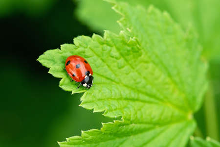 Little red lady bug on a green leaf. Beautiful nature background - Image