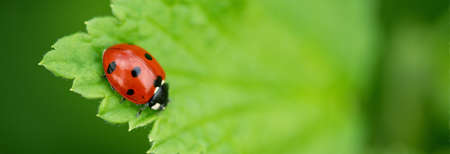 Ladybug close-up with nature background. Beautiful spring day. Soft focus - Image