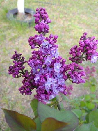lilac begins to bloom inflorescence on the bush. Stock Photo