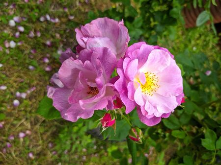 delicate bud of blossoming roses of Blue for You variety 스톡 콘텐츠