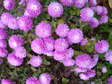 Small chrysanthemums mauve - a lot of flowers