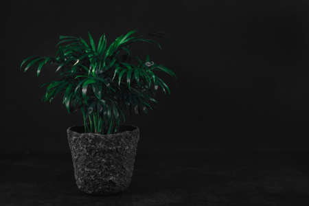 Front view of green plant in gray stone pot on dark textured table in front of dark wall background. Home decoration, side view, low key, dark photo. Home garden, decorative indoor evergreen plant