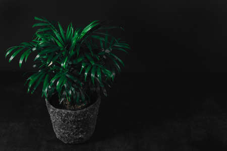 Front view of green plant in gray stone pot on dark textured table in front of dark wall background. Home decoration, side view, low key, dark photo. Home garden, decorative indoor evergreen plant Stockfoto