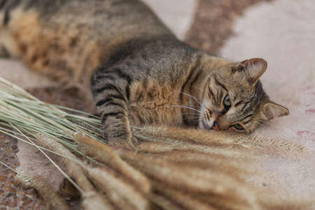 A brown stray cat with green eyes lies on a stone, hugs and plays with spikelets on a blurred background. Jerusalem stone. Israel cats