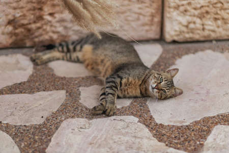 A brown stray cat lies on a stone and is played with spikelets on a blurred background, looks at the camera. Jerusalem stone. Israel cats