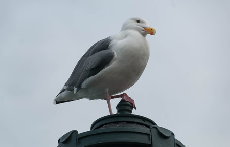 A Herring gull perched on a statue