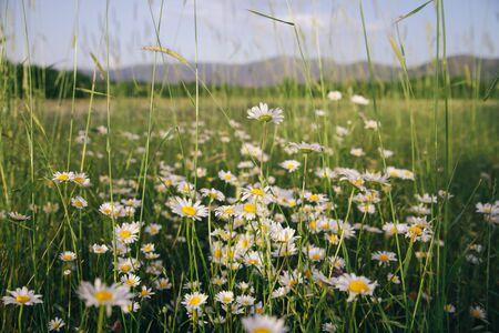 Summer fresh daisy chamomile flowers growing under the sunlight. A field full of beautiful white flowers Zdjęcie Seryjne