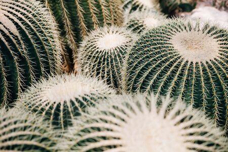 Large group of large cacti Echinocactus grusonii, Golden Barrel Cactus, Golden Ball Cactus