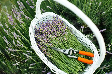 Lavender field, time to harvest. Fresh young lavender flowers in a white basket with garden shears Zdjęcie Seryjne - 129215455