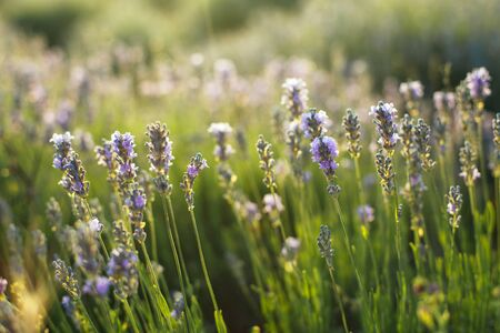 Lavender bush on the field. Young flowers in the sun Zdjęcie Seryjne