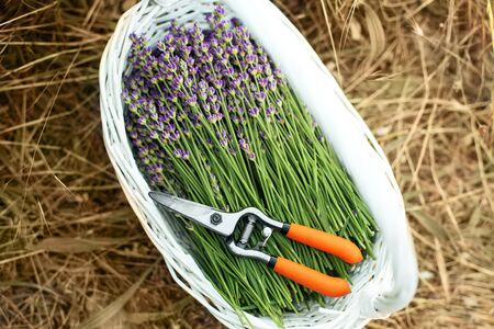 Lavender field, time to harvest. Fresh young lavender flowers in a white basket with garden shears