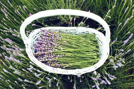 Lavender field, time to harvest. Fresh young lavender flowers in a white basket Zdjęcie Seryjne