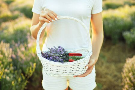 Girl in white clothes holding a basket filled with lavender flowers. Harvest time