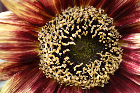 beautiful sunflower close up photo