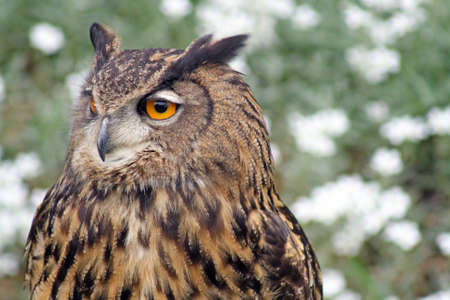 black kite: owl 1 Stock Photo