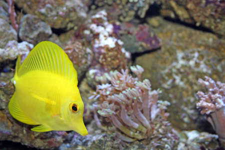 yellow tang marine fish photo