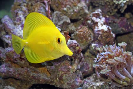 yellow tang tropical fish Stock Photo - 9485030