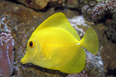 yellow tang photo