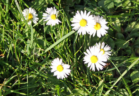 simple daisies and grass photo
