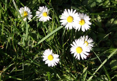 pretty daisies photo