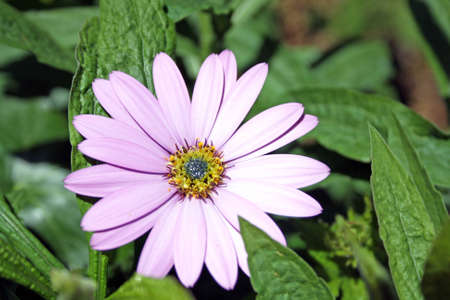 Osteospermum flower photo