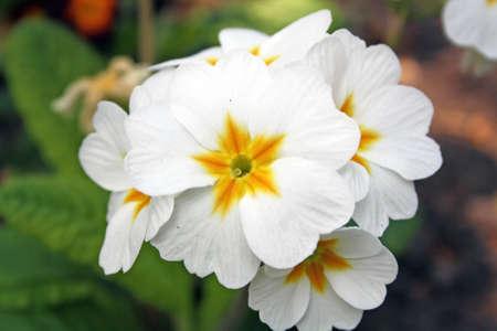 white primulas photo