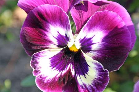 purple pansies photo