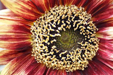 sun flower Stock Photo - 9531233