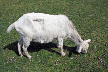 large white goat photo