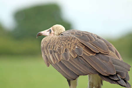 stunning vulture photo