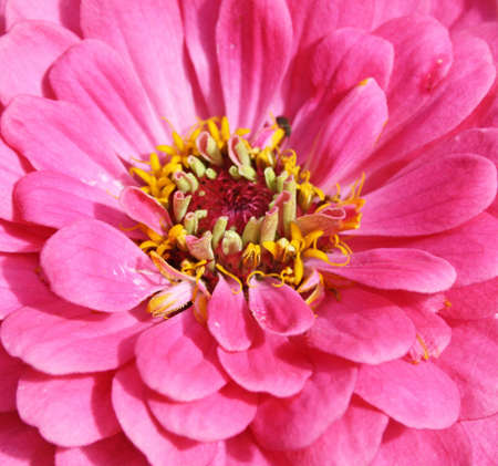 stunning pink zimmia flower photo
