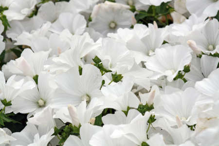 stunning white lavatera photo