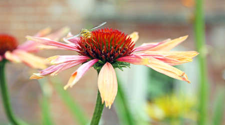 echinacea flower photo