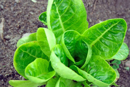 cabbage patch: growing lettuce